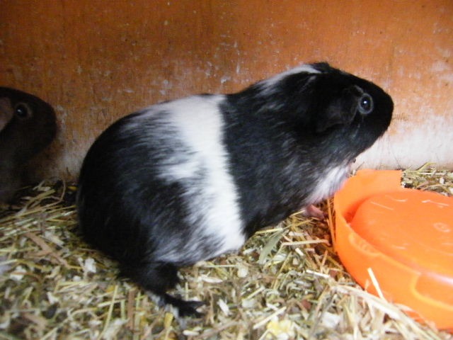 Bere Valley Cavies Harlequin And Magpie